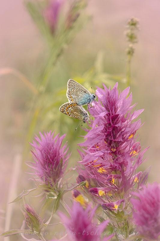 bluelings_on_wild_orchid_Blaeulinge_auf_wilder_ Orchidee_1