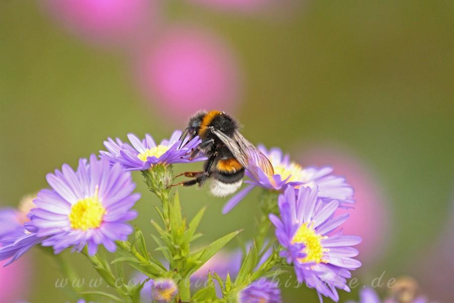bumblebee_hummel