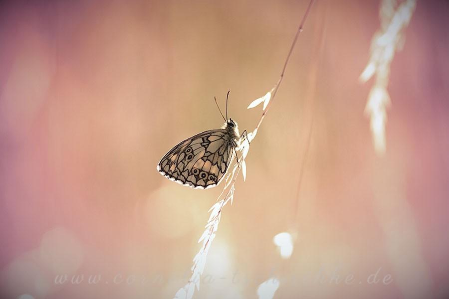 checkerboard-butterfly-Schachbrettfalter_1