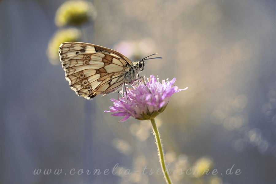 checkerboard-butterfly-Schachbrettfalter_2