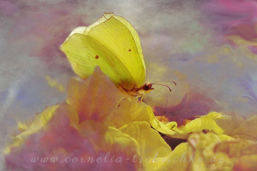 clouded_yellow_Zitronenfalter