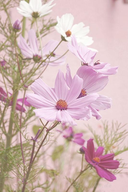 cosmos_flowers_cosmea