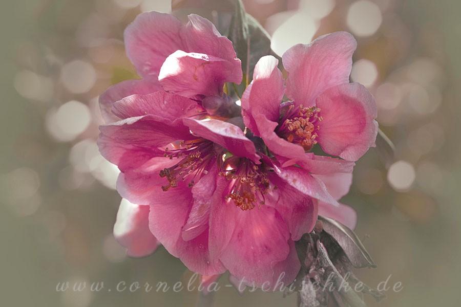crab-apple-blossoms-Zierapfel-blueten_2