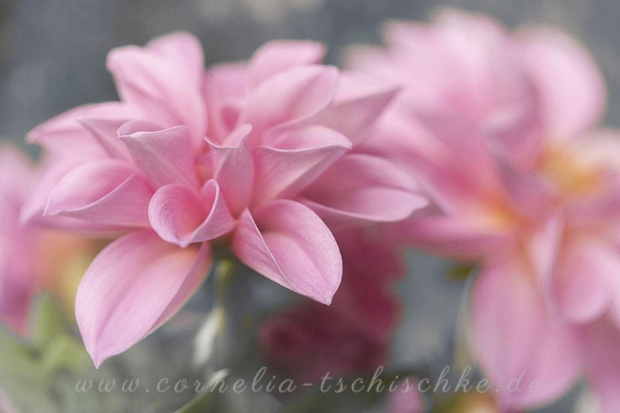 dahlia-pink-rosa-dahlie_1