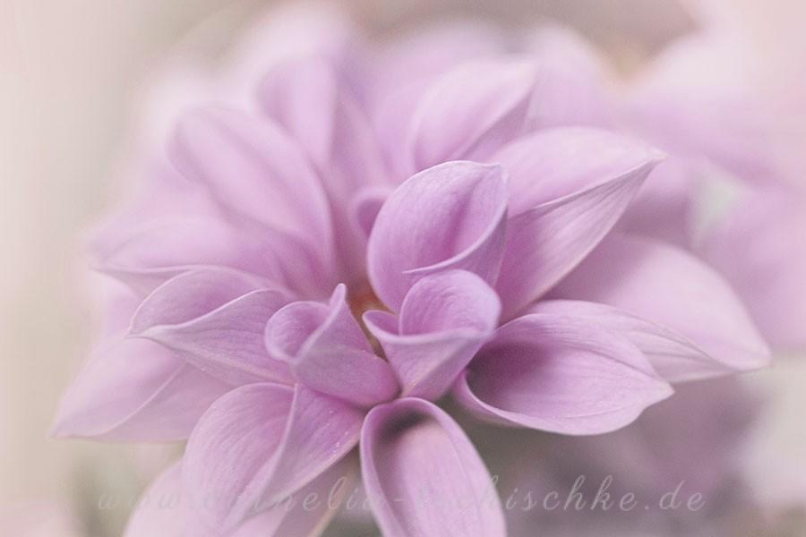 dahlia-violet-dahlie-violett_2