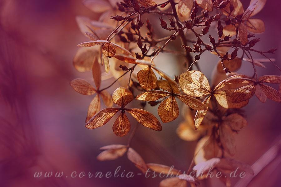 faded_beauty_hydrangeas_ verbluehte_ Hortensienschoenheit