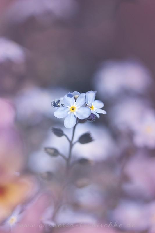 forget_me_not_flower_Vergissmeinnicht
