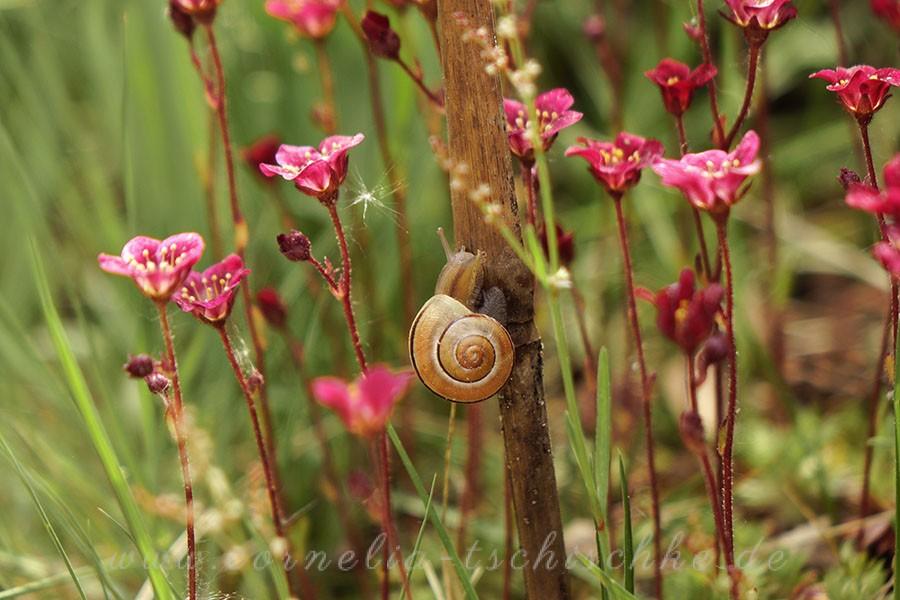 garden-snail-Gartenschnecke_1