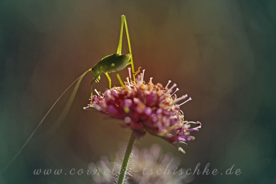 grasshopper-Langfuehlerschrecke_1