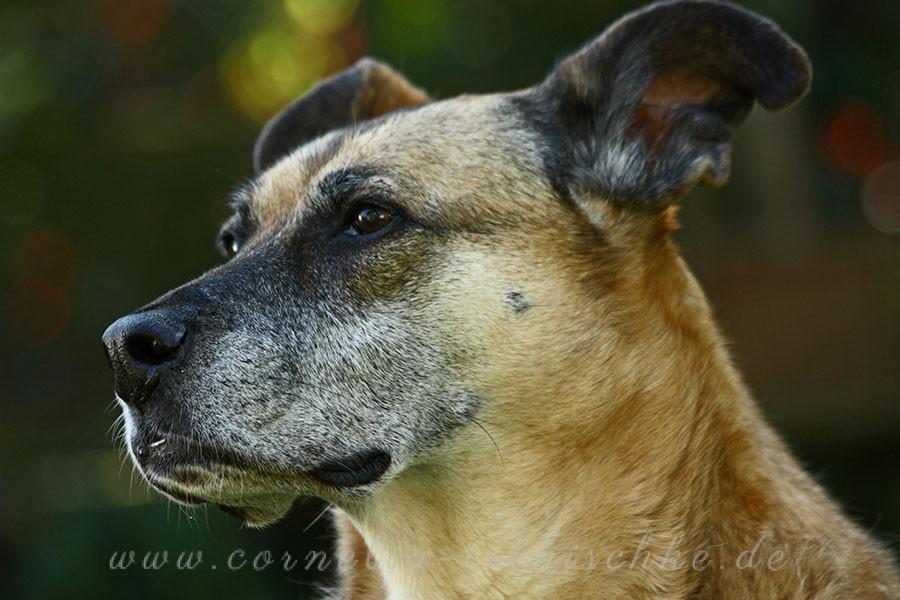 grey-snout-dog-graue-Schnauze_1