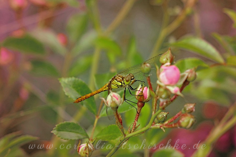 heather-dragonfly-Heidelibelle_1