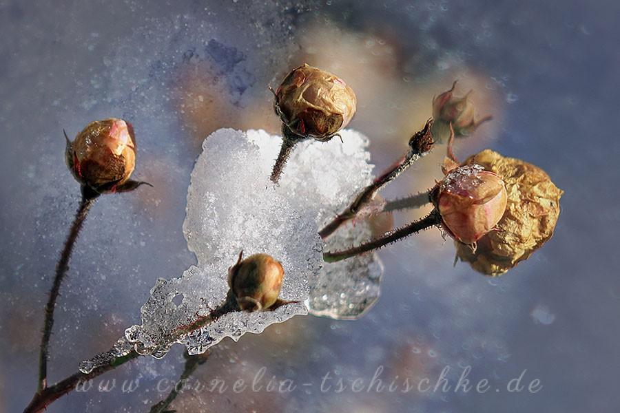 ice_beauty_rose_eisige_Schoenheit_Rose
