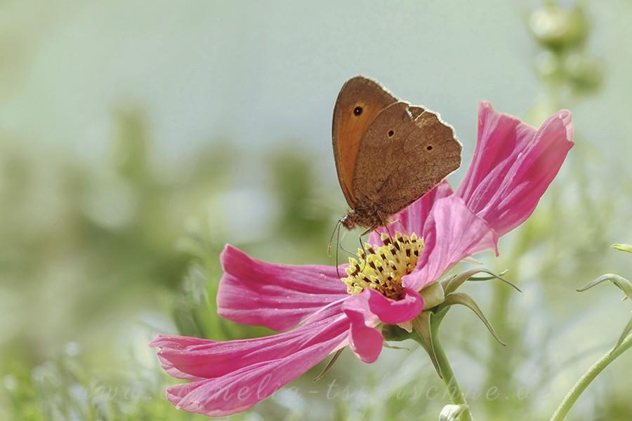 little-meadow-bird-kleines-Wiesenvoegelchen-cosmea_1