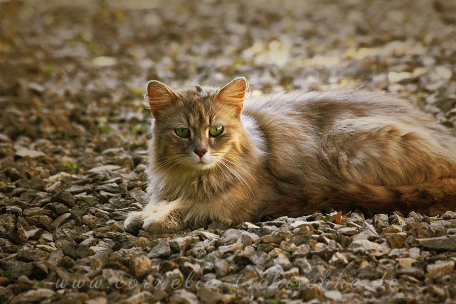 longhair-cat-Langhaarkatze_1