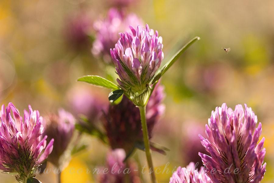meadow-clover-Wiesenklee_1