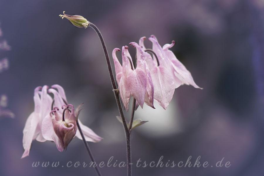 pink-columbine-rosa-Akelei_1