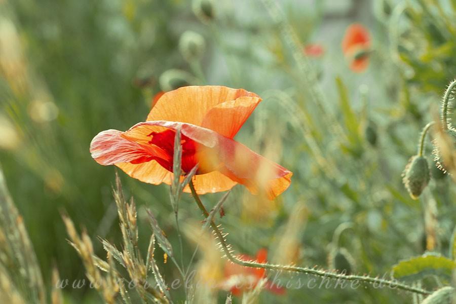 poppy-Mohnblume_1