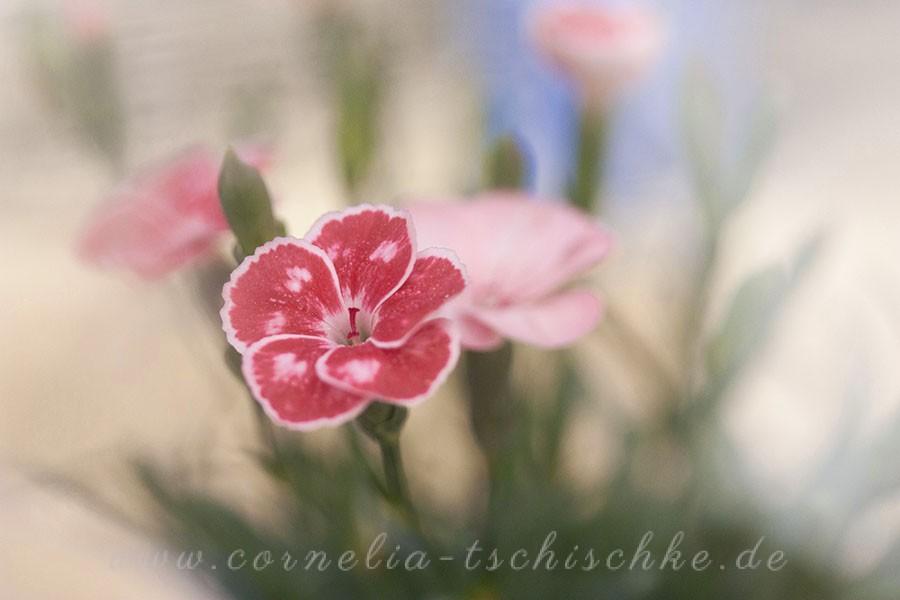 small-carnation-kleine-Gartennelken_1