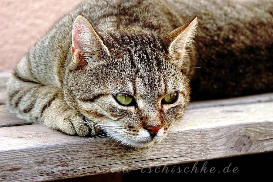 tiger-cat_1