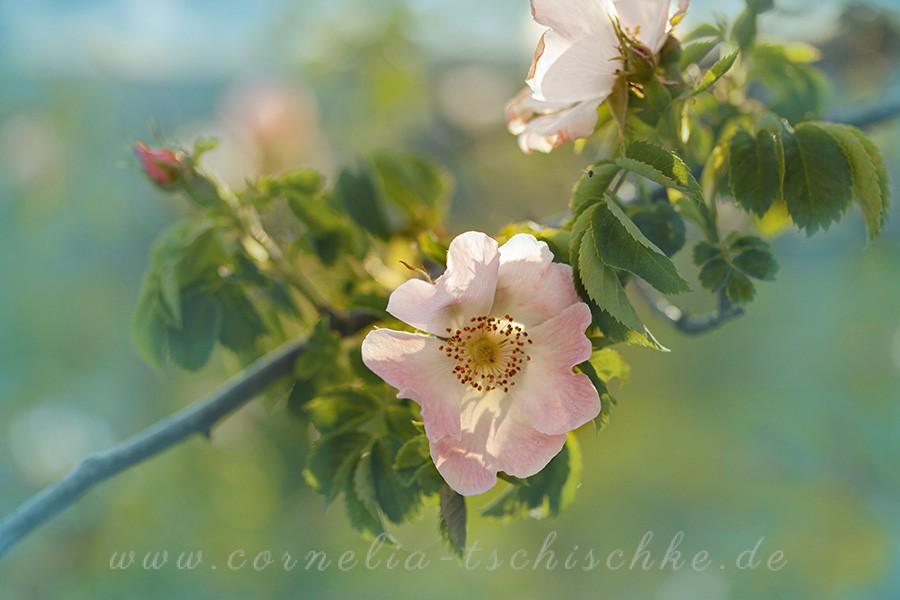 wild_rose_Wildrose_1