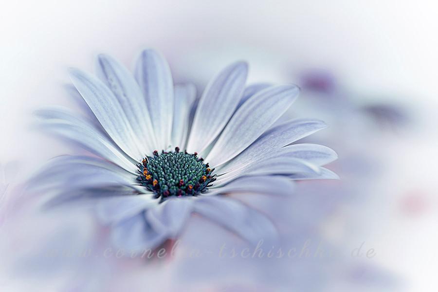 african daisy - kapkoerbchen-5