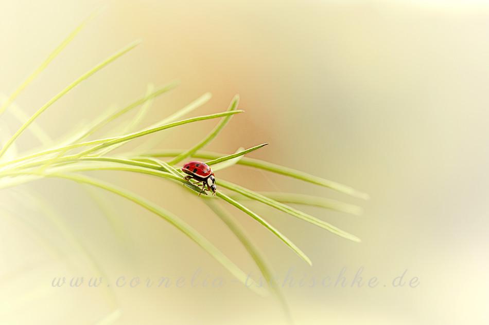 ladybug - marienkäfer