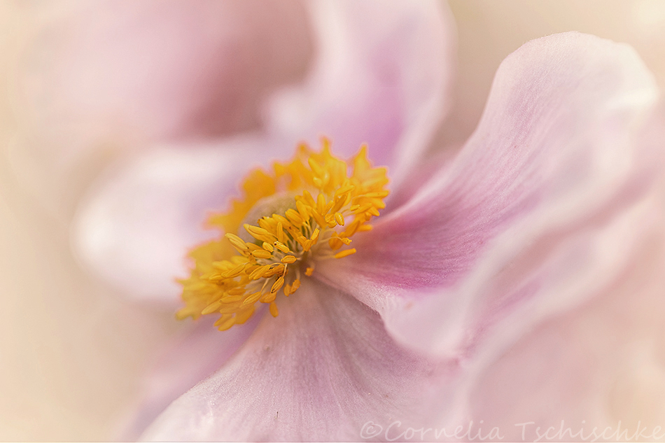 anemone_herbstanemone