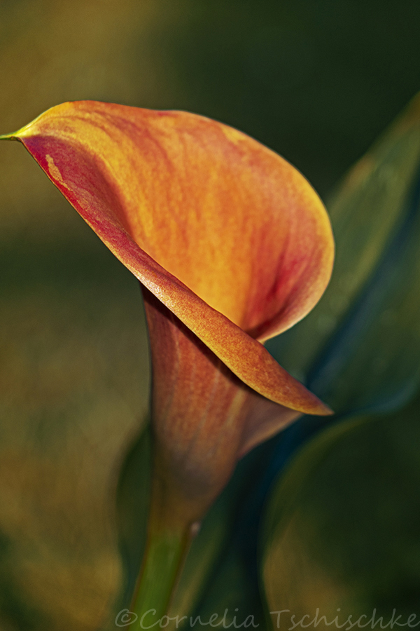 calla_sunset