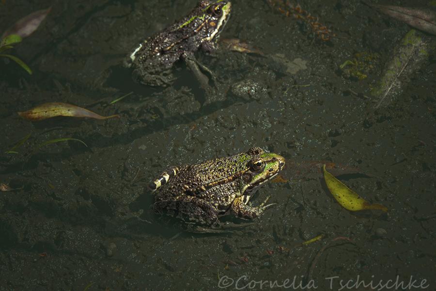 froschpaerchen