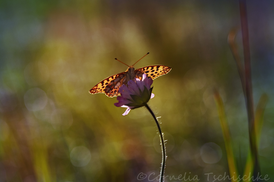 high_brown_fritilary_perlmuttfalter
