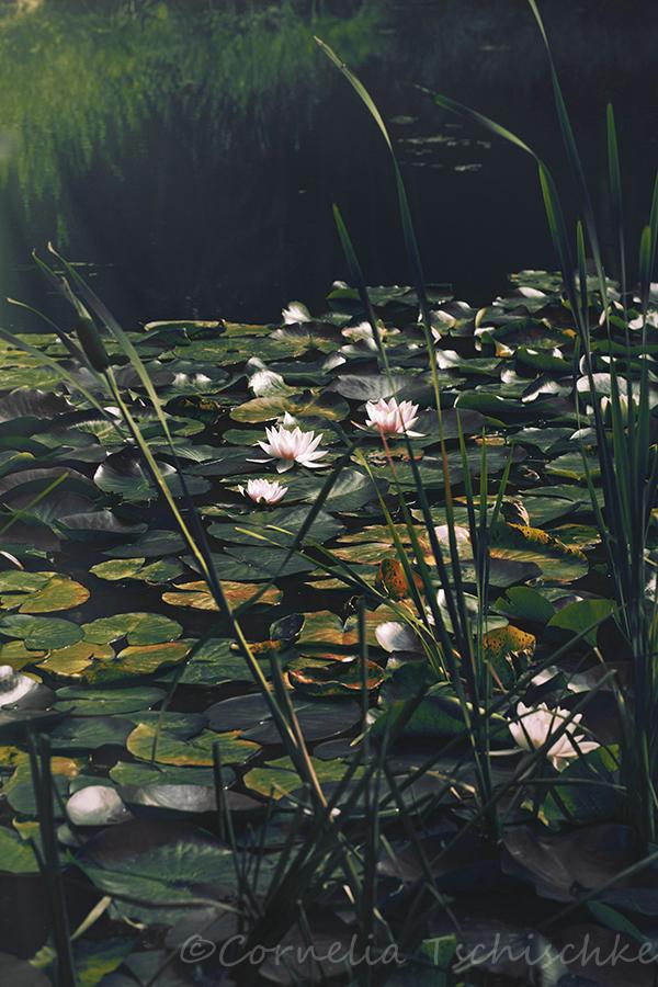 lily_pond_seerosenteich