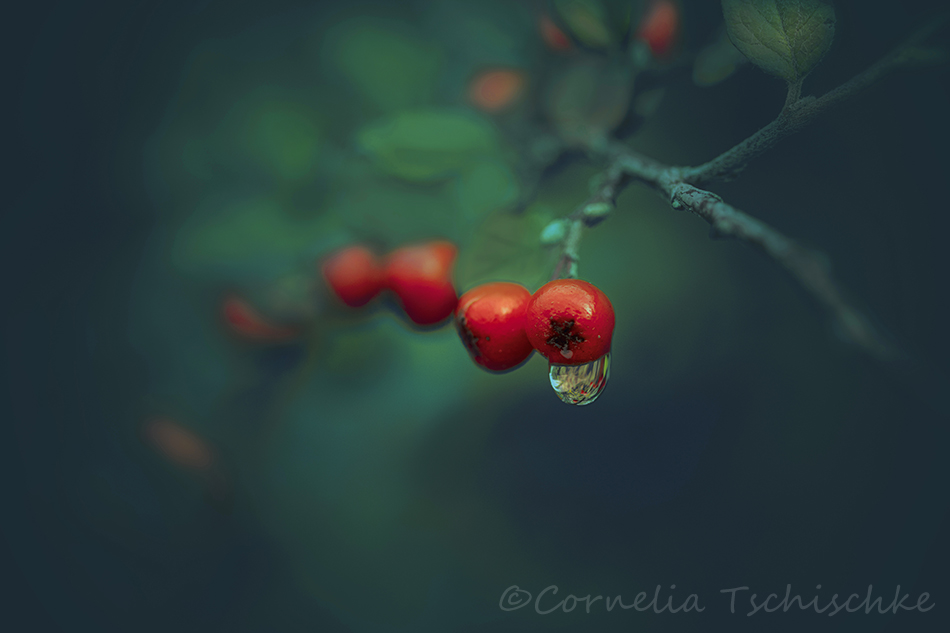 winterbeere_winterberry