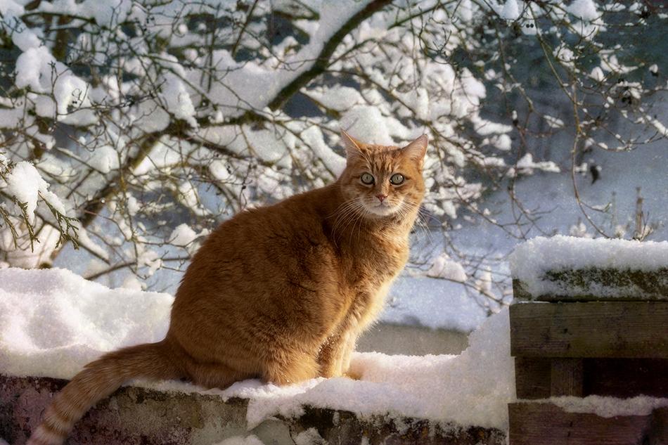rote_katze_im_Schnee