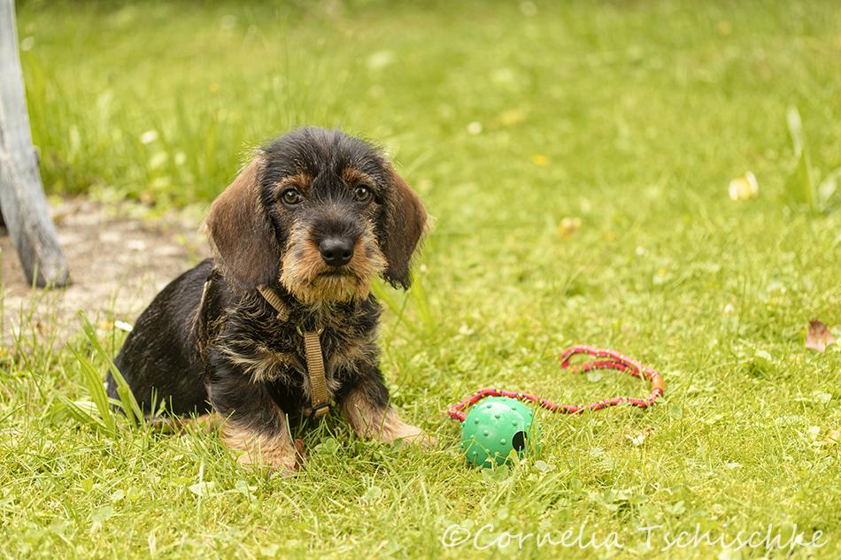 Rauhaardackel_welpe-wirehair_dachshund_puppy