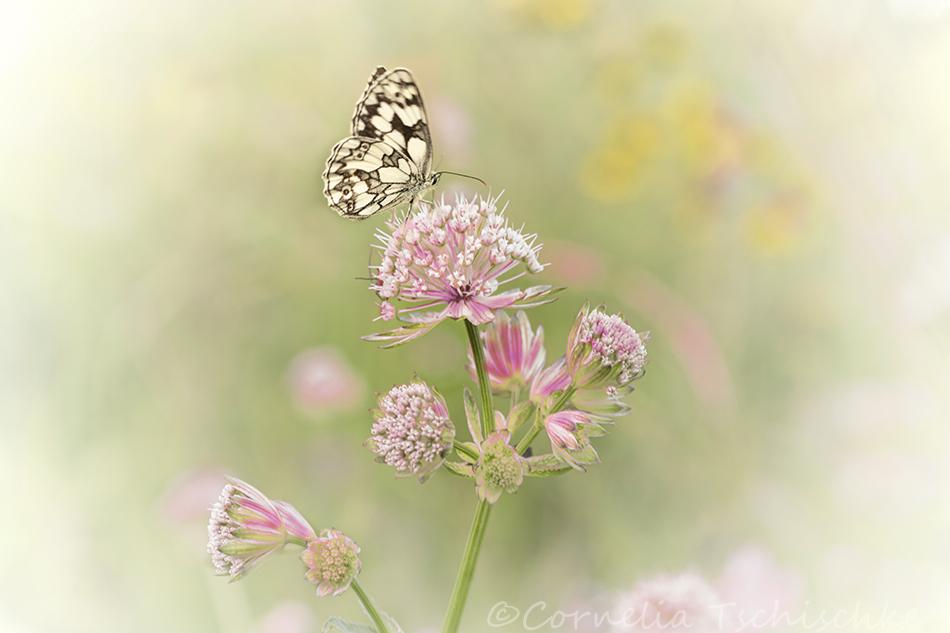 astrantia_butterfly