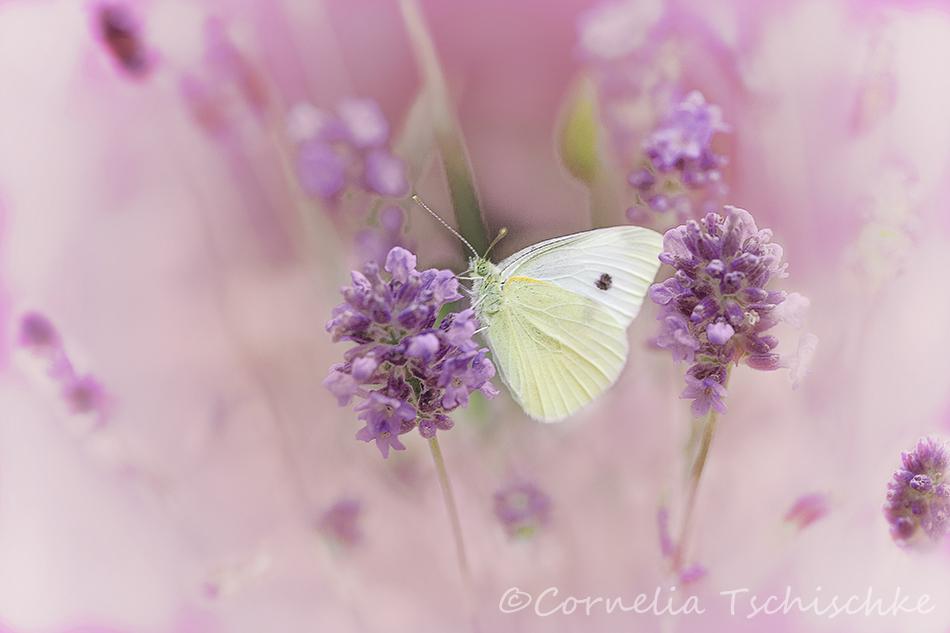 large_white_butterfly_großer_kohlweissling