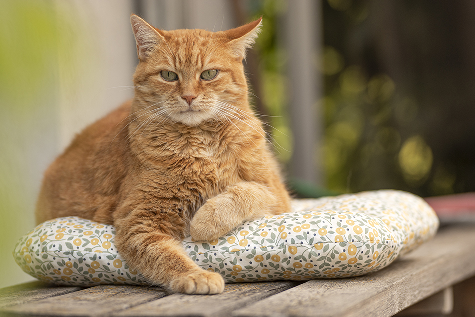 red_tabby_cat