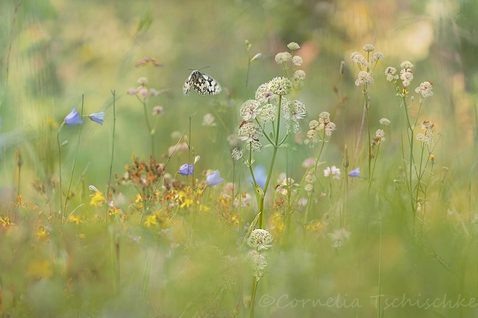 summer_meadow