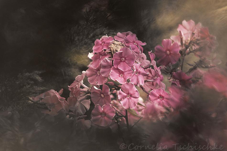 phlox_flower_flammenblume
